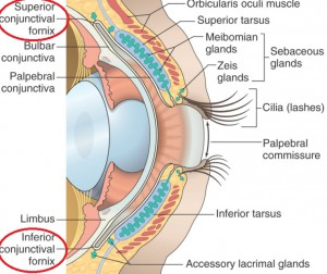 Why A Contact Lens Can Not Get Stuck In Your Eye - Conjunctival Fornix