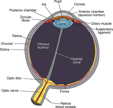 Converting a Glasses Prescription to Contact Lenses Eye Cross Section